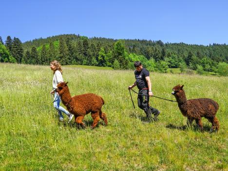 Dohlenbacherhof Alpakas