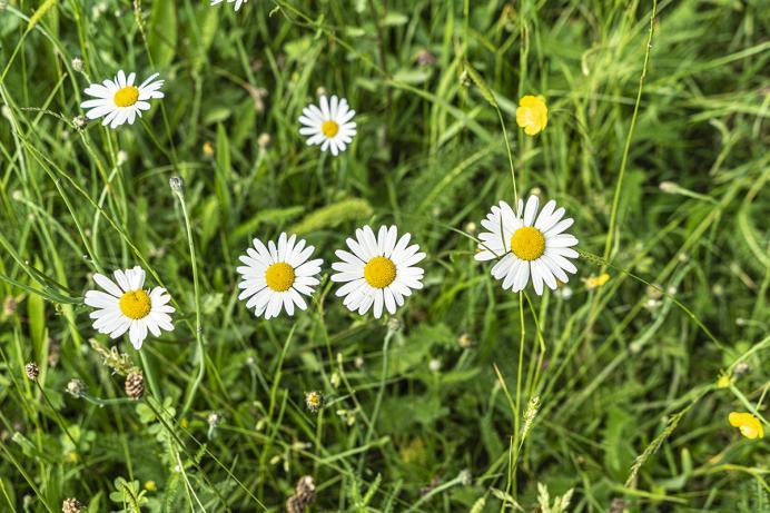Waldfrieder, Blumenwiese